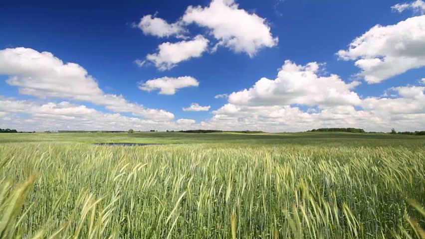 wheat field #776929
