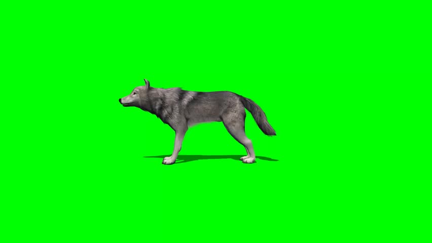 Wolf eat - with and without shadow - green screen | Shutterstock HD Video #7777813