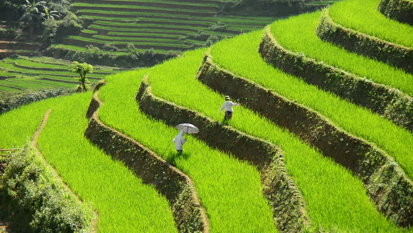 Workers Planting Rice in Scenic Rice Terraces in the Northern Mountains of Vietnam -  Circa August 2014 - Sapa Vietnam