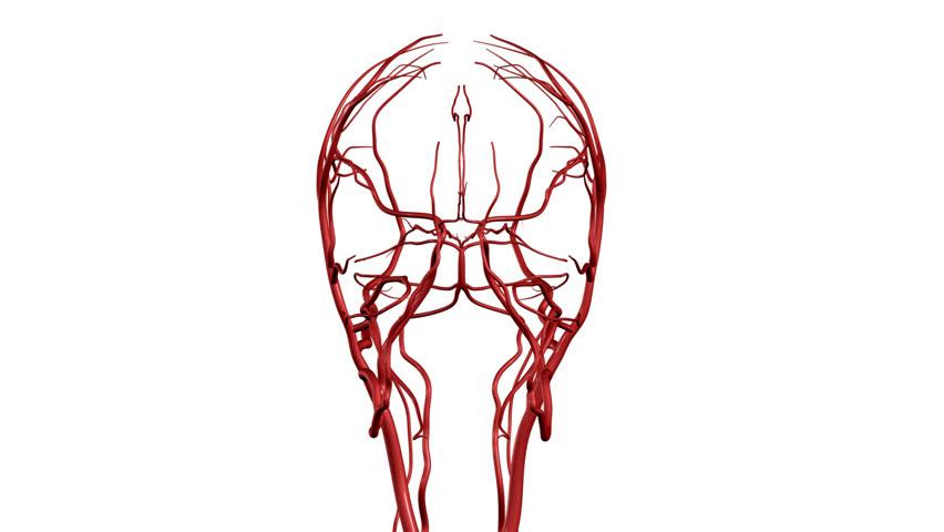 Brain Arteries HD