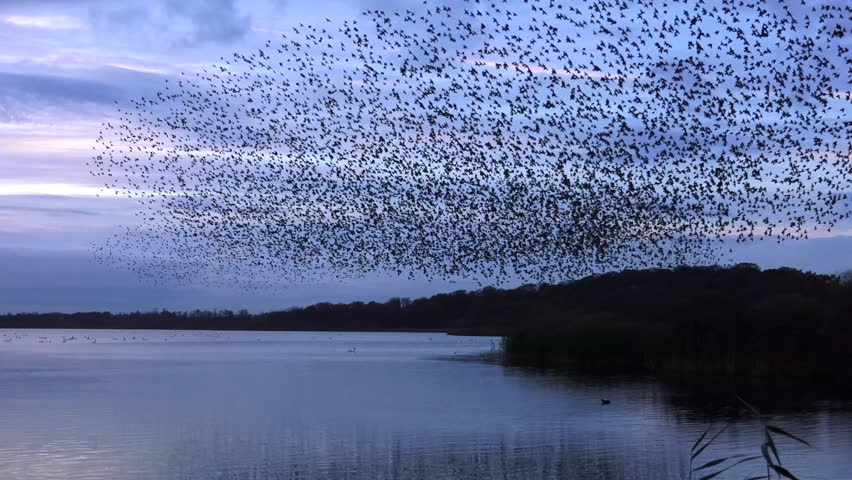 Starlings flock together on lake at sunset nature background - Aqualate Mere, Staffordshire, England: November 2014 - 01761149 | Shutterstock HD Video #7803661