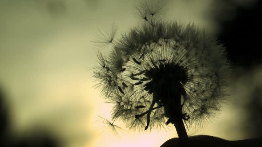 Dandelion Silhouette - High speed fine detail shot of dandelion silhouette.