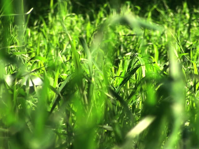 Grass swaying V2 - NTSC - SD stock video clip