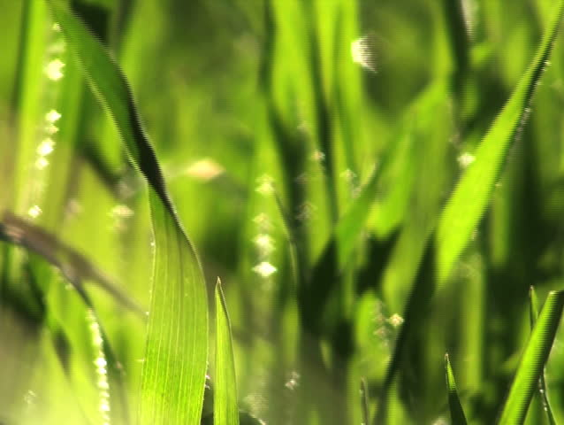 Grass swaying V4 - NTSC - SD stock footage clip