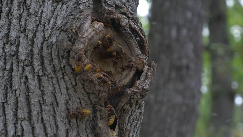 Dangerous European hornet Vespa crabro nest in tree hole ...