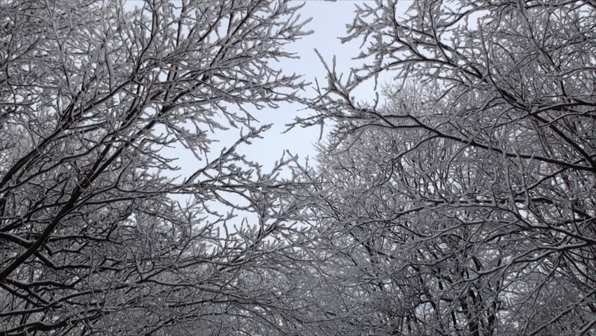Trees tops covered with snow. This effect could only be obtained through falling wet snow and wind gusts with the help of freezing temperature. - HD stock footage clip