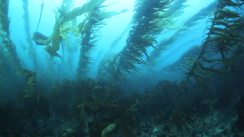 a robust kelp forest grows along the coast of california