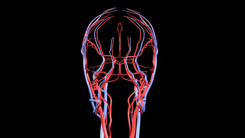 HD Brain Arteries and Veins Rotation Loop