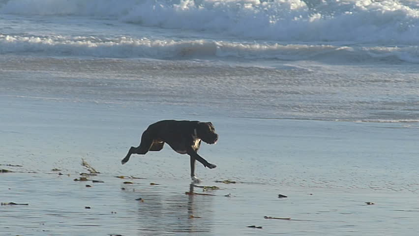 A Pit bull dog fetching a ball on the beach in California.  Filmed in Slow Motion at 120 fps.