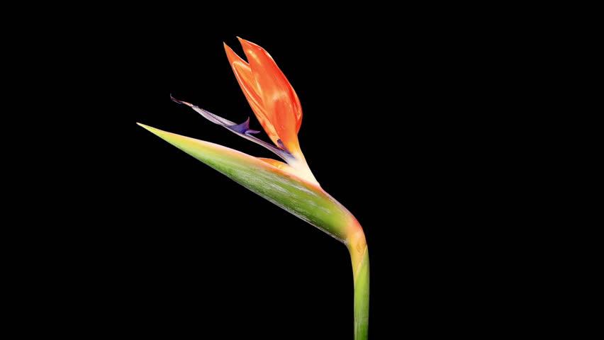 Blooming Strelitzia flower buds ALPHA matte, FULL HD. (Strelitzia reginae) (Time Lapse)  | Shutterstock HD Video #7978585