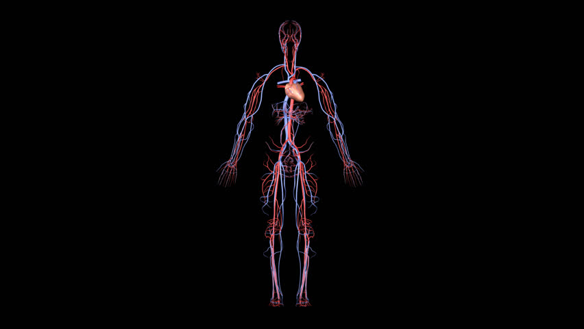 HD Arteries and Veins