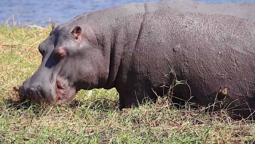 oxpecker and hippo relationship counseling