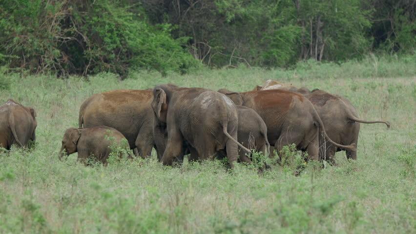 Herd of Asian elephants with baby elephants in Minneriya national park, Sri lanka
