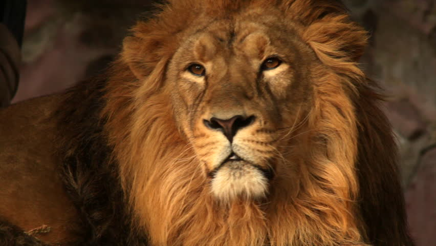 8k Animal Wallpaper Download: The Face With Sunshine Spots Of Shaggy Lion Close Up