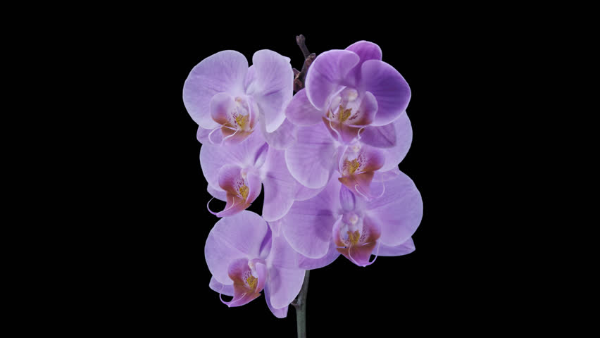 Time-lapse of opening purple Phalaenopsis orchid 4a4 in UHD-4K PNG+ format with alpha transparency channel isolated on black background