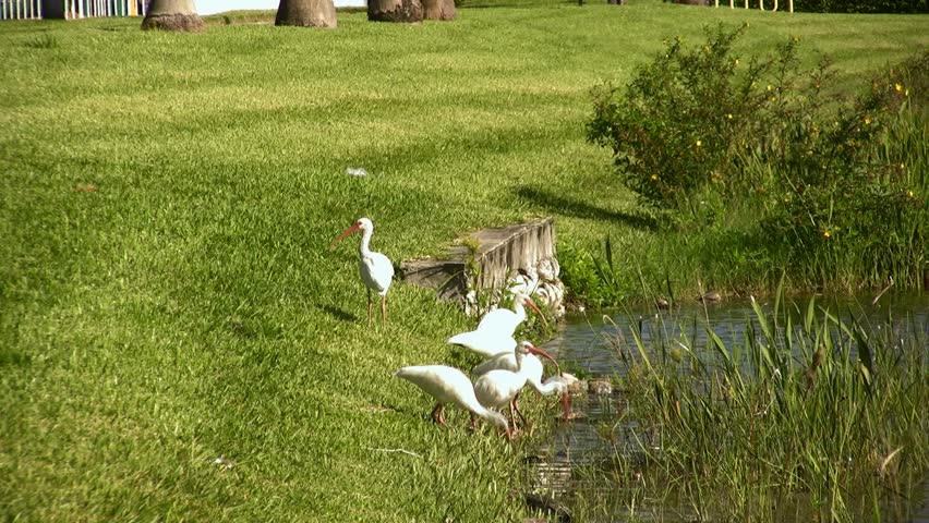 Header of American white ibis