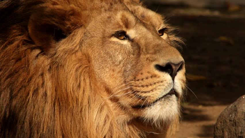 8k Animal Wallpaper Download: African Lion (Panthera Leo) Male Stock Footage Video
