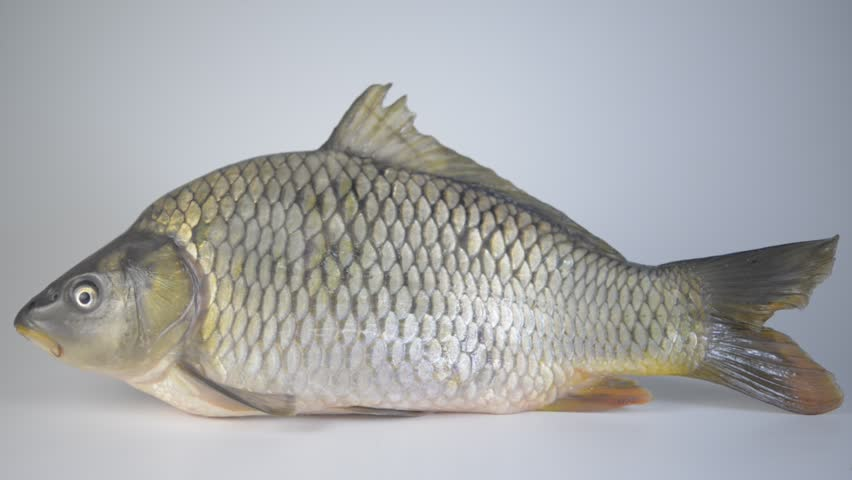 common carp definition meaning
