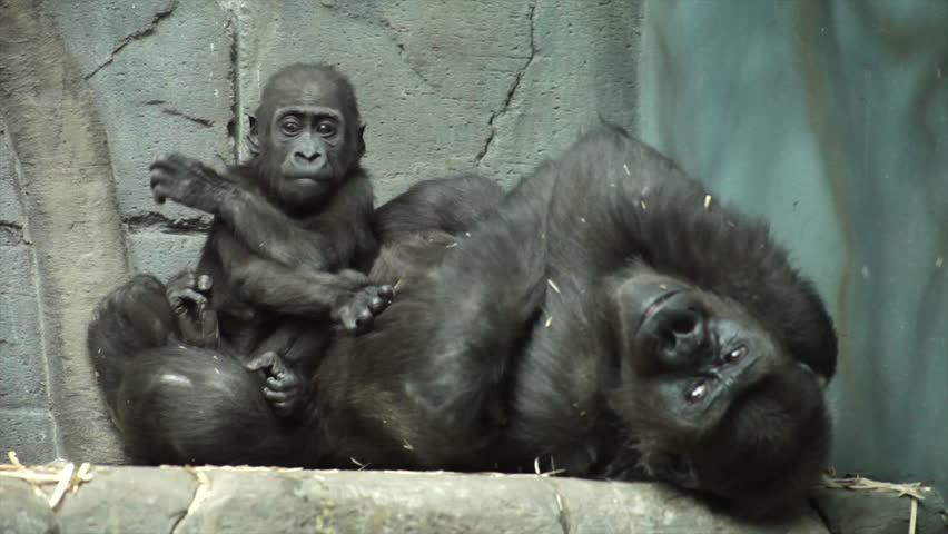 Gorilla baby, sitting on his mother, which likes kissing his doodle. A kid, that is going to be great ape, the most dangerous and biggest monkey of the world. Beauty of the wildlife in the HD footage. - HD stock video clip