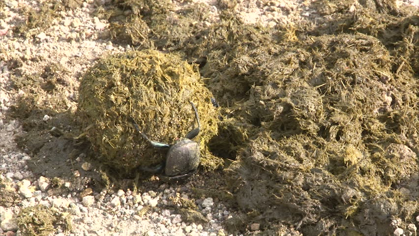 Scarabaeus Beetles rolling dung ball. South Africa, Kruger National Park.