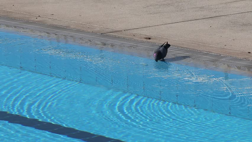 Pigeons drinking water from swimming pool stock footage video 7433335 shutterstock How to make swimming pool water drinkable