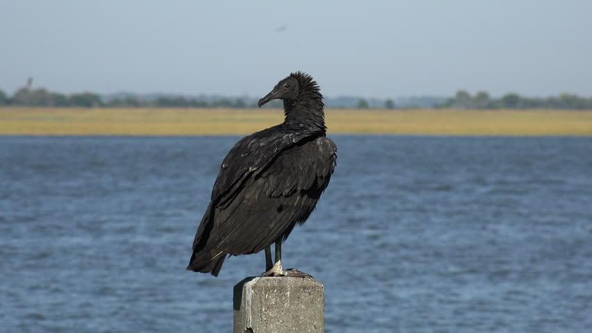 Header of American black vulture