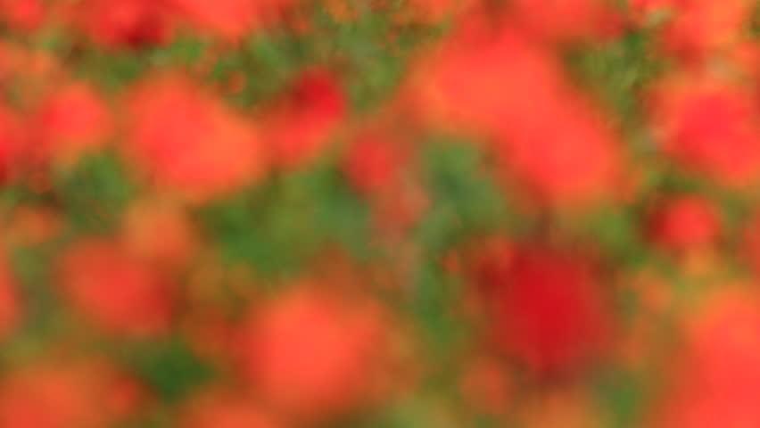 nature red bokeh, cosmos sulphureus - HD stock video clip