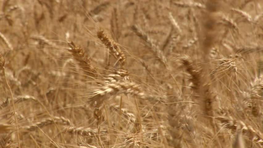 Wheat field. Close up of golden wheat straws.