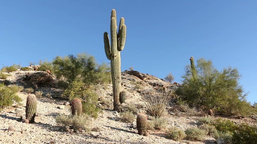 deserts cactus - photo #19