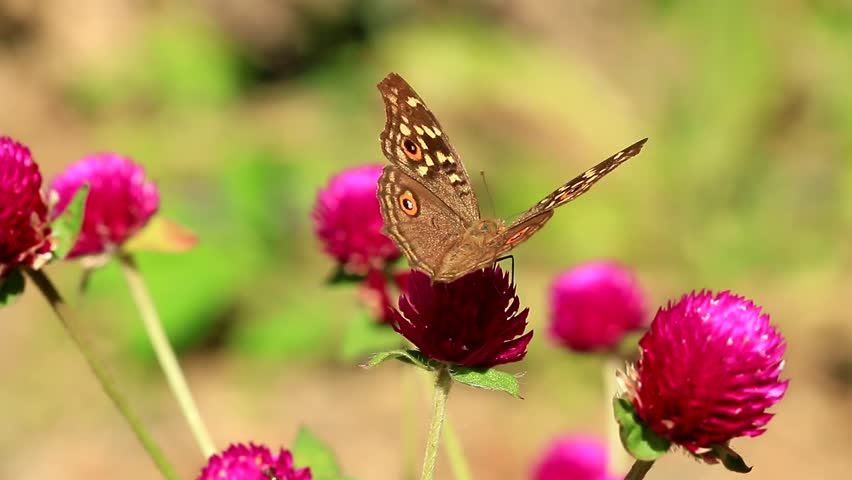 The Lemon Pansy butterfly on pink flower - HD stock video clip