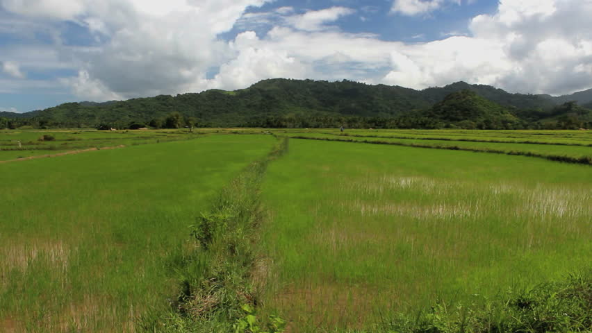Green Rice field in the Philippines