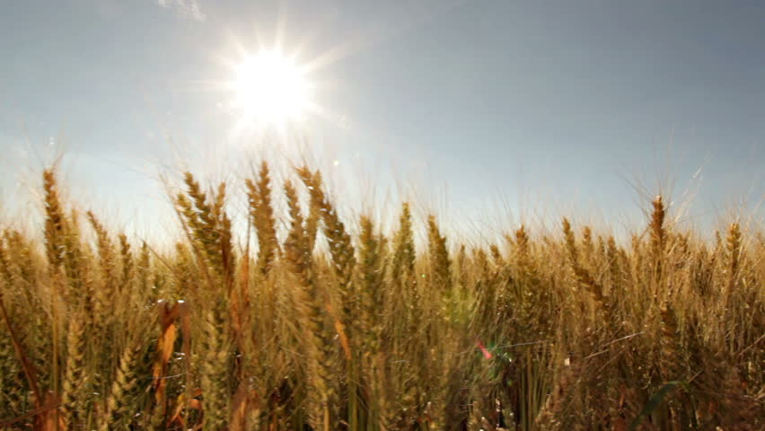 dolly shot wheat field close with sun