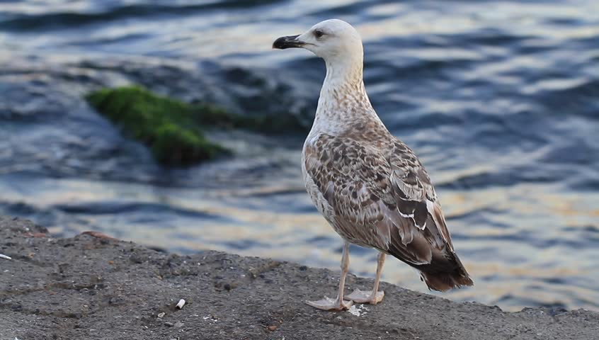 Chick of a seagull, teenager on the sea. Young seagull standing on the pier.