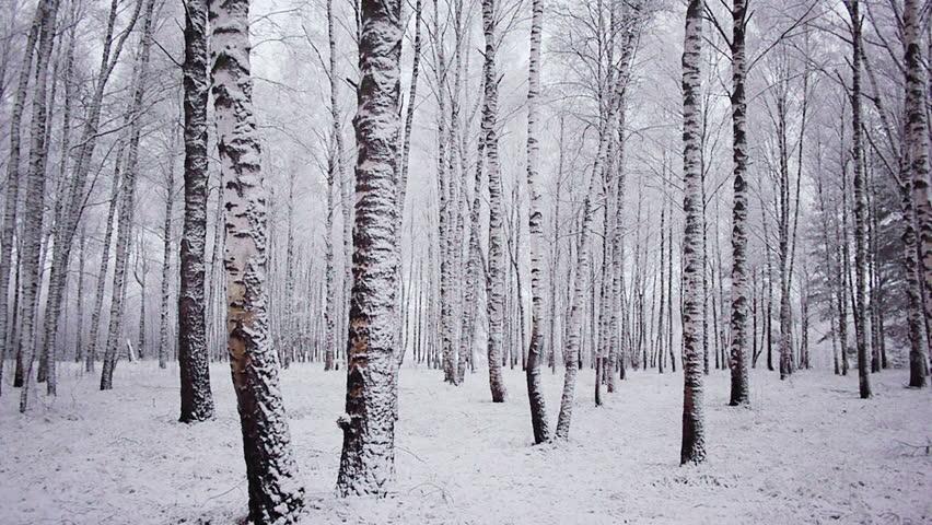 Birch tree forest winter birch trees stock footage video