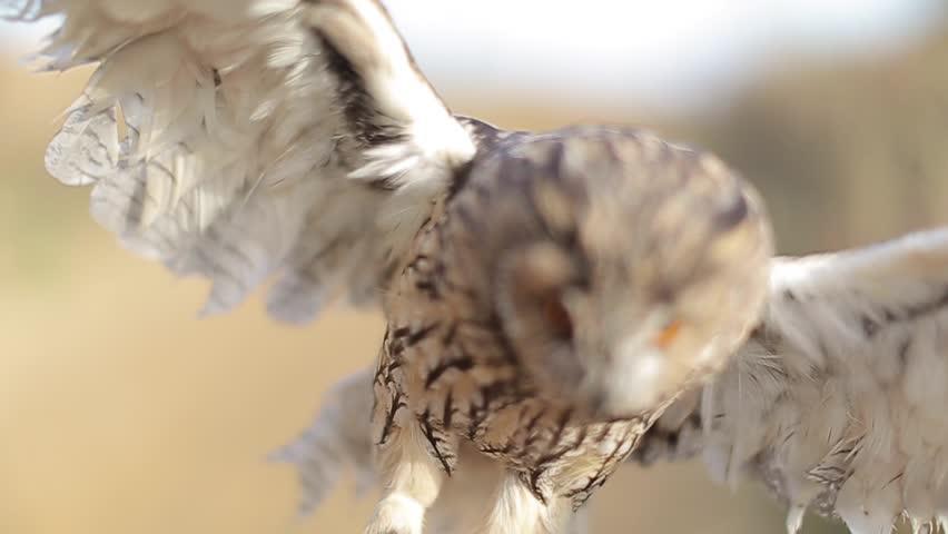 Owl. Owl flies up. Macro - HD stock footage clip