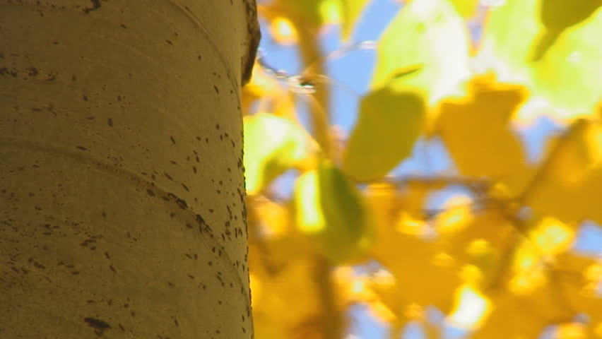 Closeup aspen tree trunk with ants moving up and down against background of autumn leaves - HD | Shutterstock HD Video #85045