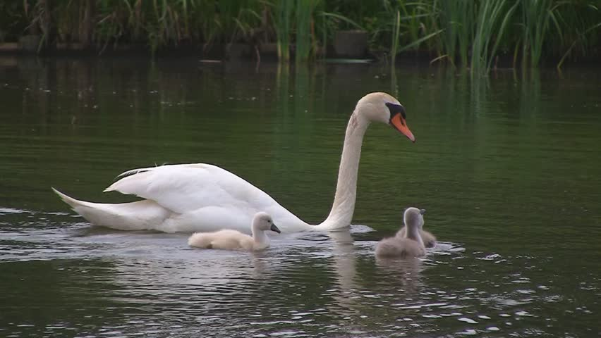 Swan family in pond - HD stock footage clip