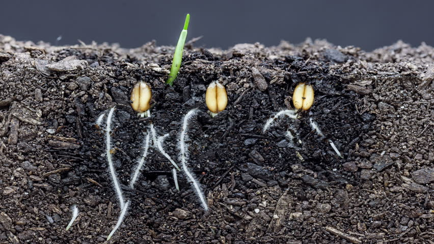 3 grain seeds growing growing from soil, underground and overground view/Grains growing from soil