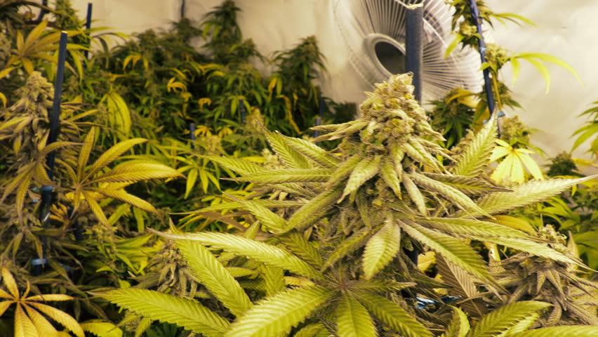 Moving Through Room with Marijuana Plants Growing Indoor