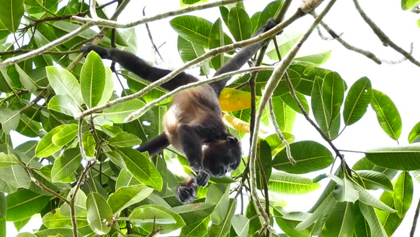 Header of Alouatta