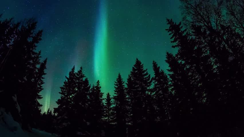 Northern Lights (aurora borealis) dancing on a pine forest in Norway. Lofoten Islands #8631211