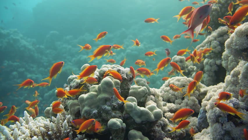 Colorful underwater offshore rocky reef with coral and for Small tropical fish