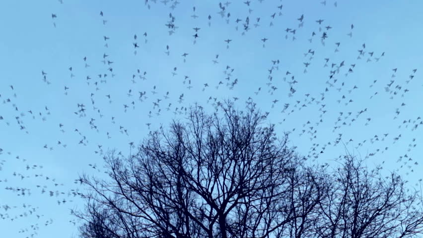 The many birds fly away from the tree crown. The blue cloudless sky