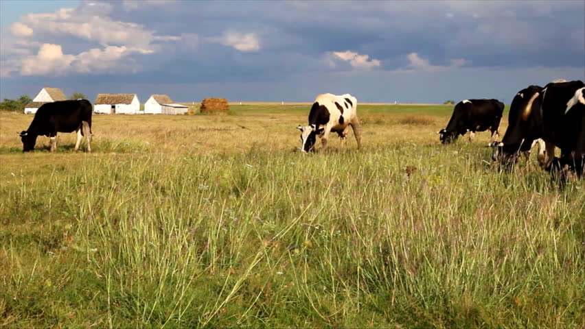 Cows grazing in a meadow near the road - HD stock video clip