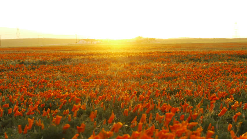 4K Time lapse footage with tilt down motion of wild flower at full bloom with sunset in California Poppy Reserve in Antelope Valley