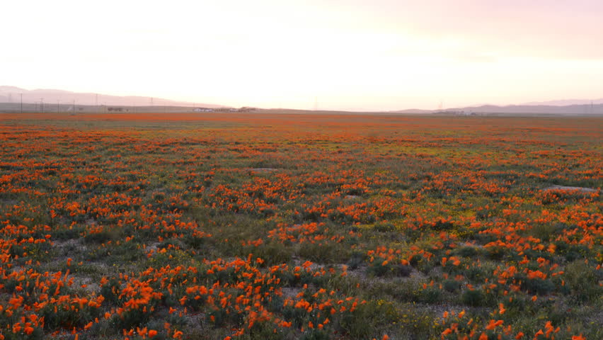 4K time lapse footage with dolly in motion of wild flower at full bloom with sunset in California Poppy Reserve in Antelope Valley