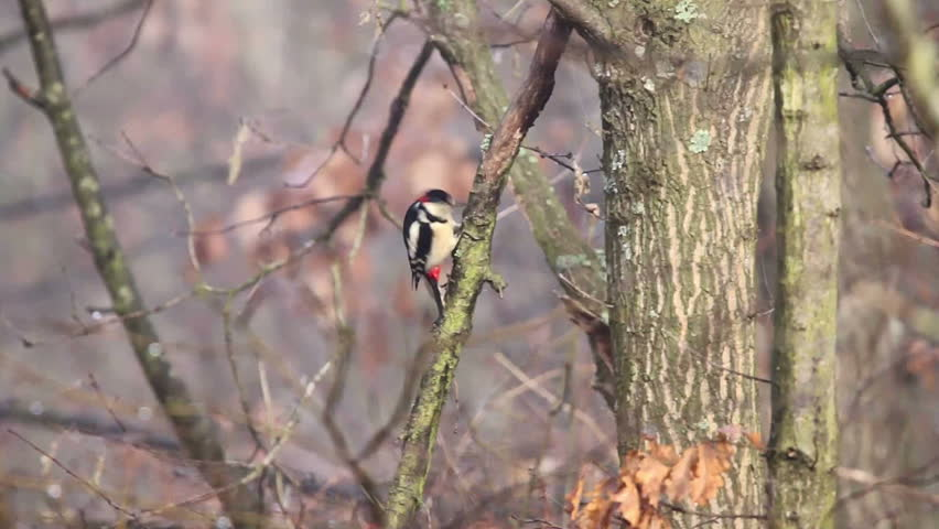 Dendrocopos major. Great Spotted Woodpecker - HD stock footage clip