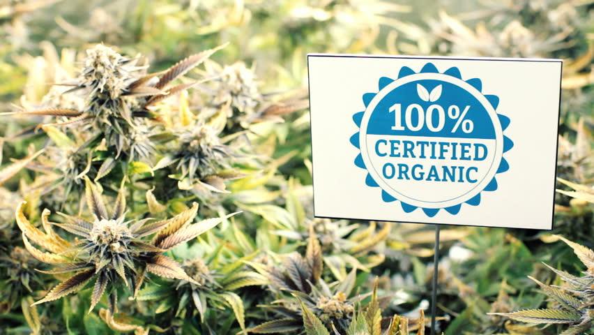 Marijuana plants in garden with certified organic sign