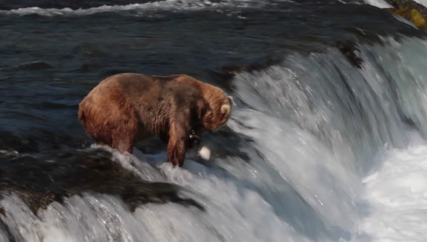 Grizzly bear catching and losing a salmon in Brooks Falls