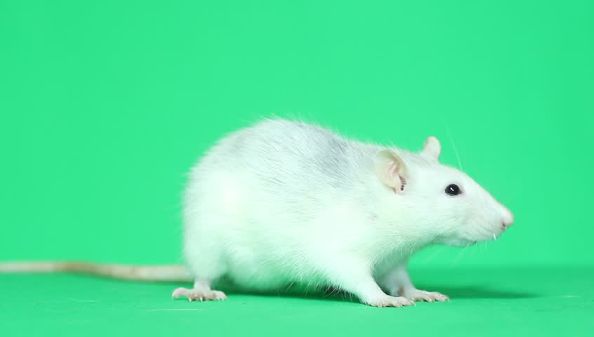 funny pet rat eats a green screen, chroma key - HD stock footage clip